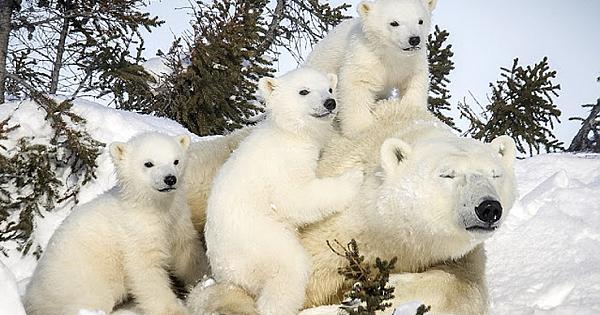Adorable Pictures Show The Bond Between Newborn And Mother Polar Bear (13 Photos)
