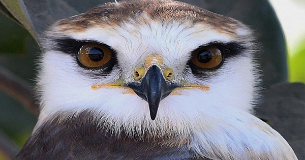 Black-winged Kites Charm With Their Unique Glances