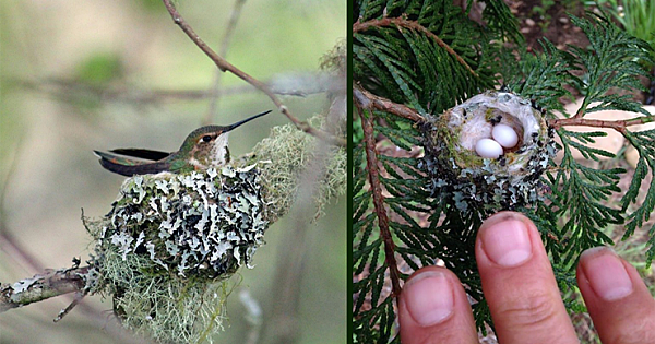 Hummingbird Nests Are As Small As A Thimble, Be Careful Not To Prune Them