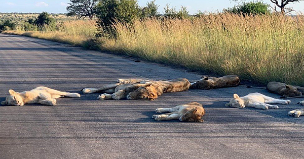 South African Lions Take Advantage Of Lockdown And Nap Out On the Empty Road