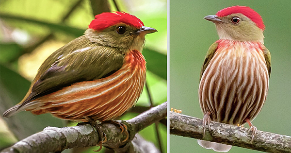 The Striolated Manakin Is The Roundest And The Sweetest Bird That You Will Ever Meet (10 Photos)
