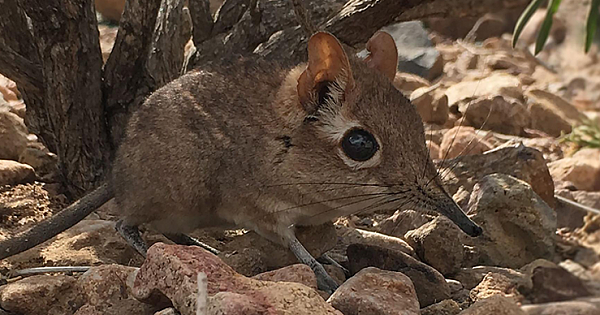 The Tiny Elephant Shrew Spotted Alive For The First Time In 50 Years