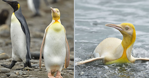 Wildlife Photographer Captured Extremely Rare Yellow Penguin In Once-In-A-Lifetime Photos